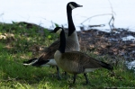 Lake Catherine State Park Canada Geese
