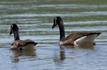 Lake Catherine State Park Canada Geese Swimming