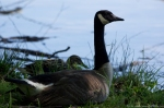 Lake Catherine State Park Canada Goose