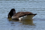 Lake Catherine State Park Canada Goose Swimming