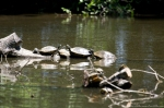 Lake Catherine State Park Sunning Turtles