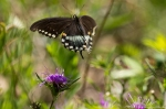 Lake Catherine St Park Spicebush Swallowtail Butterfly