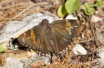 Lake Catherine St Park Horseshoe Trail Silver-spotted Skipper