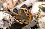 Lake Catherine State Park Common Buckeye Butterfly
