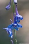 Lake Catherine St Park Horseshoe Trail Carolina Larkspur