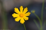Lake Catherine St Park Horseshoe Trail Lance-Leaf Coreopsis
