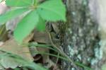 Lake Catherine State Park Horseshoe Trail Prairie Lizard