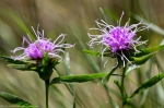 Lake Catherine St Park Horseshoe Trail Ouachita Blazing Star