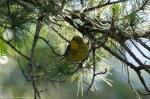 Lake Catherine State Park Horseshoe Trail Pine Warbler