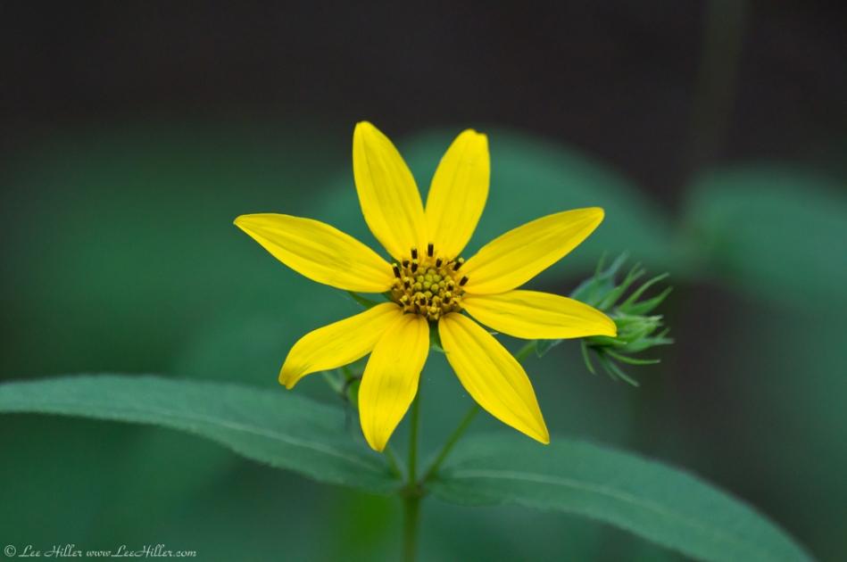 HSNP Dead Chief Trail Tickseed Sunflower