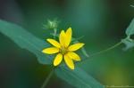 HSNP Dead Chief Trail Woodland Sunflower