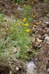 HSNP Goat Rock Trail Lance Leaf Coreopsis