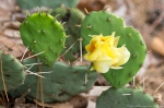 HSNP Gulpha Gorge Trail Prickly Pear Cactus Flower