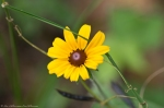 HSNP North Mountain Loop Black Eyed Susan