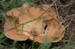 HSNP North Mountain Loop Fungi