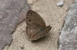 HSNP Hot Springs Mountain Trail Brown Butterfly