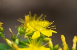 HSNP Hot Springs Mountain Trail St. Johns Wort