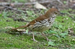HSNP Arlington Lawn Juvenile Brown Thrasher