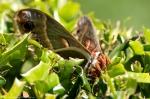HSNP Arlington Lawn Mammoth Moth