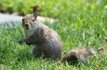 HSNP Arlington Lawn Bob Tail Squirrel Portrait