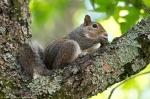 HSNP Fountain Street Wall/Lawn Pregnant Squirrel