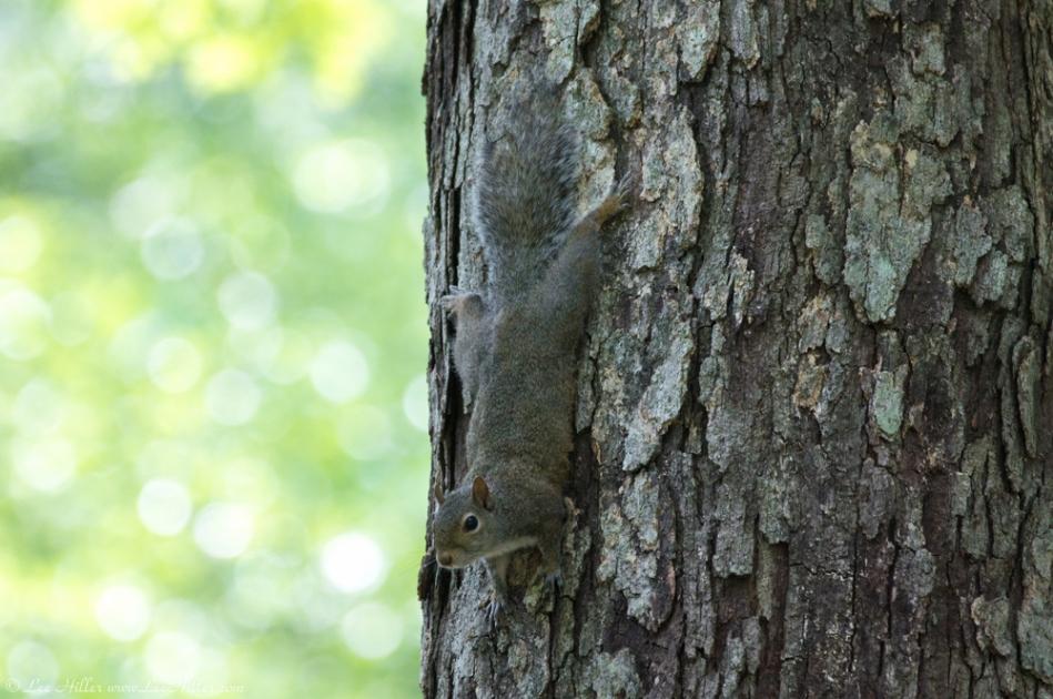 HSNP Fountain Trail Lawn Juvenile Squirrel