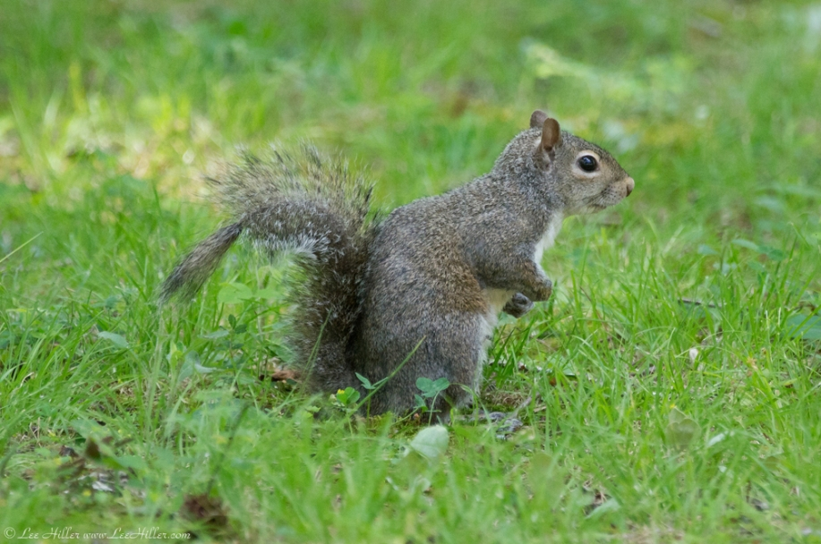 HSNP Fountain Trail Lawn Juvenile Squirrel