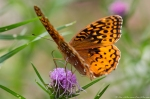 HSNP West Mt Great Spangled Fritillary Butterfly on Blazing Star