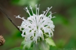 HSNP West Mt. Canyon Trail Wild Bergamot