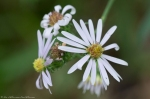 SHSNP West Mt. Oak Trail Spring Aster
