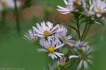 HSNP West Mountain Top Trail Spring Asters