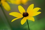 HSNP West Mountain Top Trail Black-Eyed Susan