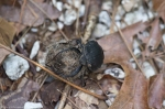 HSNP West Mountain Top Trail Spring Dung Beetle