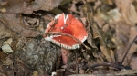 HSNP West Mountain Top Trail Red Fungus