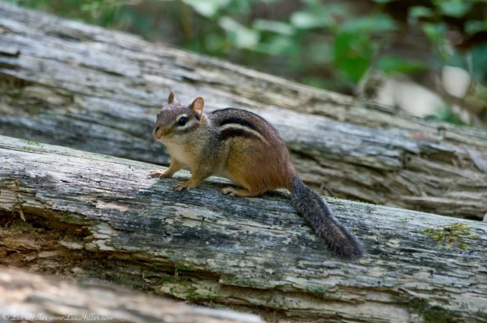 HSNP Floral Trail Chipmunk