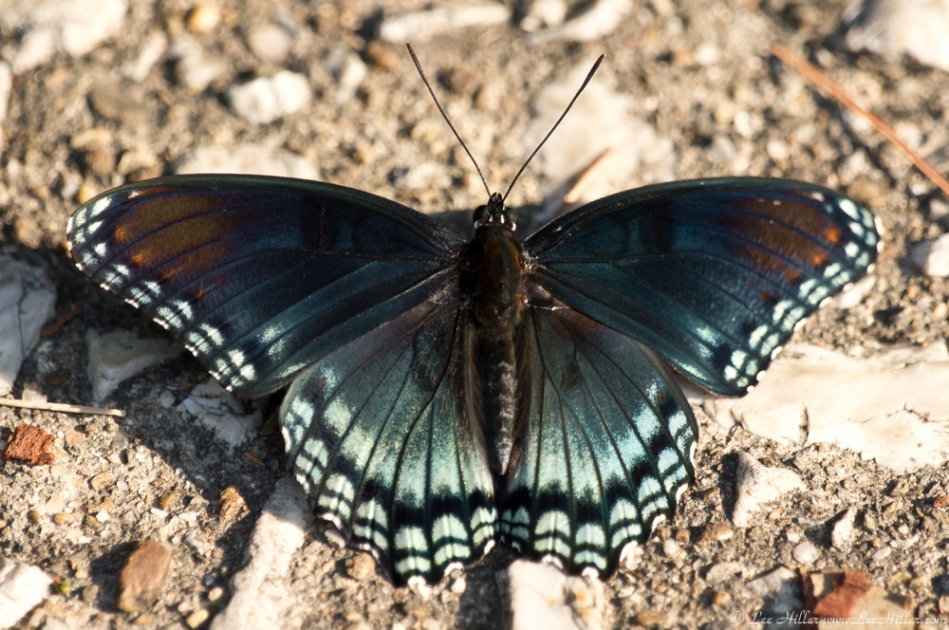 HSNP Hot Springs Mountain Rd Red Spotted Purple Butterfly