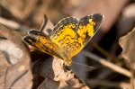 HSNP Hot Springs Mountain Rd Pearl Crescent Butterfly