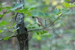 HSNP Hot Springs Mountain Trail Carolina Wren
