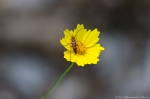 HSNP Hot Springs Mountain Trail Lance Leaf Coreopsis