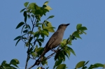 HSNP Peak Trail Gray Catbird