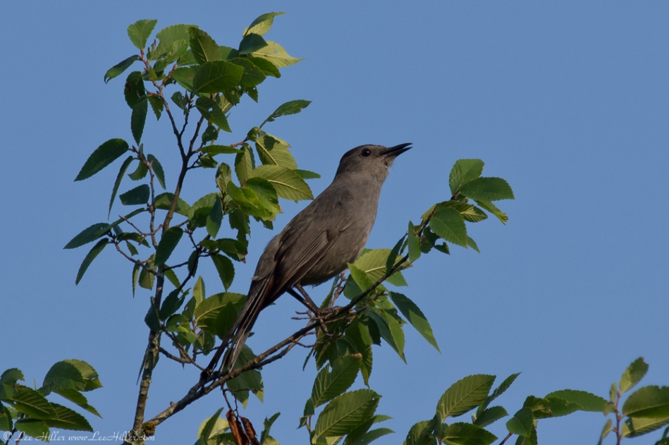HSNP Peak Trail Gray Catbird