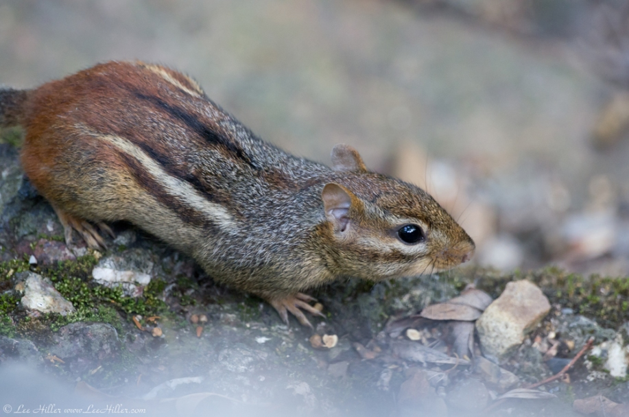 HSNP Tufa Terrace Trail Chipmunk