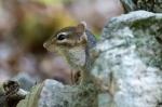 HSNP Upper Dogwood Trail Chipmunk