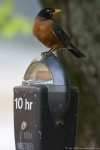 HSNP Fountain Street Robin Meter Maid