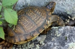 HSNP Goat Rock Trail Ornate Box Turtle