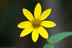 HSNP Hot Springs Mountain Road Woodland Sunflower