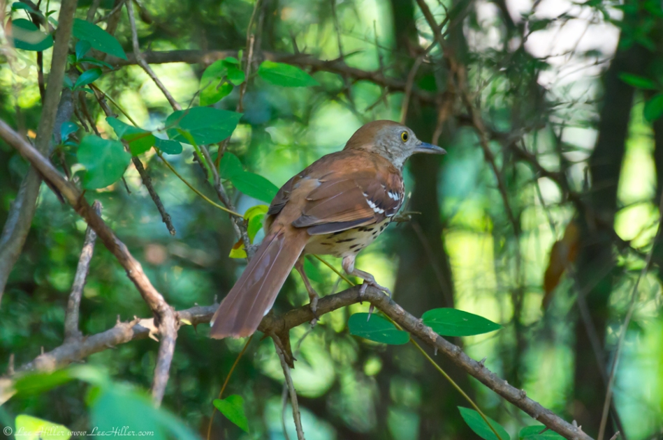 Hot Springs National Park Promenade Brown Thrasher