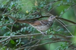 Hot Springs National Park Promenade Brown Thrasher Chick