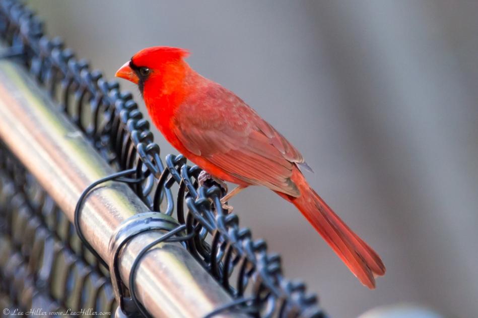 Hot Springs National Park Promenade Male Cardinal