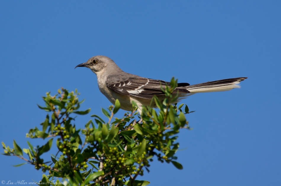Hot Springs National Park Promenade Mockingbird Hookbeak